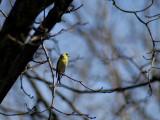 goldfinch.04-07.015