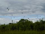 swallows 1