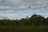 swallows2.jpg