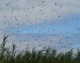 swallows 5