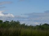 swallows 8