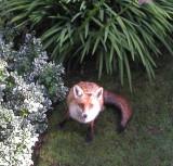 foxy II.jpg