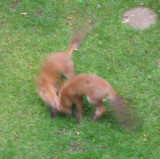 fox cubs playing in the garden