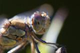 dragondartercommon.jpg