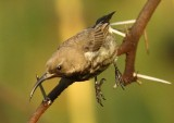 Amethyst Sunbird (f)