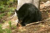 Cub eating pine cone
