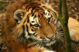 Amur Tiger kitten - captive