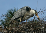 Grey Heron with chick