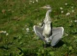 Grey Heron sunbathing