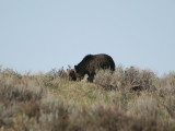 Griz with cub
