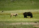 Wolf/griz encounter