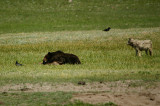 Griz napping on elk carcass