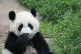 Chewing on bamboo