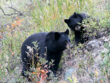 Black bear mom & cub