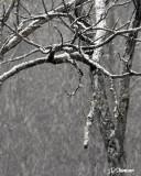 ds20070130_0026aws Snow in Tree.jpg