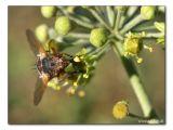 Schwebefliege (Syrphidae) an Efeublüte (Hedera helix)