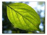 leaf / Blatt