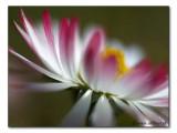 Gänseblümchen im Wind / daisy in the wind