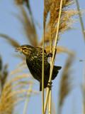 CAROUGE À ÉPAULETTES (F.) / RED-WINGED BLACKBIRD