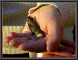 HOLLY THE RUFOUS  FEMALE HUMMINGBIRD IN GOOD HANDS