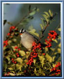Sunrise On White Crowned Sparrow