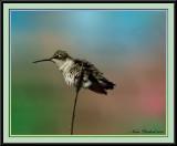 Female Ruby Throat Hummingbird / Her Favorite Branch
