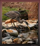 Great Blue Heron Having  A Late Breakfeast
