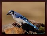 Blue Jay On The Rocks