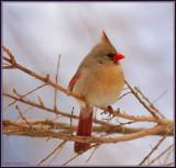 Fluffed Out Female Cardinal