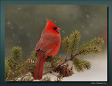 Male Cardinal  In A Light Snow Fall