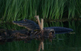 Funny, really funny - caiman, Rio St. Lucia, Argentina