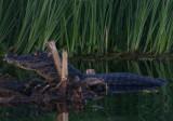 Trust me - caiman, Rio St. Lucia, Argentina