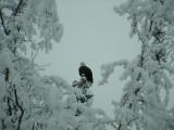 Eagle w snow on trees.JPG
