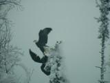 Eagles flying.JPG