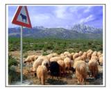 Cows ahead