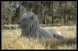 Rare White Lions of Africa