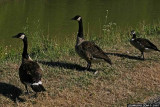 geese on the towpath