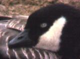 Cackling Goose - bill - 12-14-05