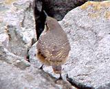 Rock Wren - 10-22-06 - View of Back -JRW