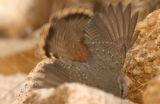 Rock Wren  - Photo - Nick Winstead