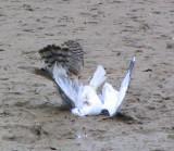 Cooper's Hawk - Ring-billed Gull