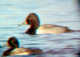Ring-necked / Canvasback