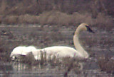 Trumpeter Swans - Tunica Co.