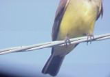 Western Kingbird - male tail