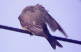 Scissor-t FC - Western Kingbird hybrid - second female - 2007