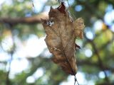 dead leaf in a spider web