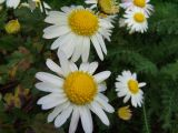 hardy fall chrysanthemum