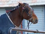 waiting buggy horse
