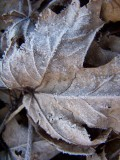 frosty maple leaves