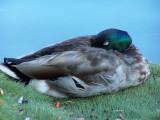 duck nap